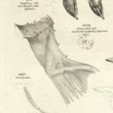 cab 18 albinus A5.jpg