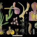 Orchis morio.jpg