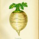 Cabinet 5 Turnip-0001.jpg