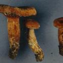 Milkcap Mushroom.jpg