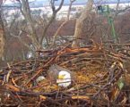 Watch Live: 2nd Egg Laid In DC Bald Eagle Nest