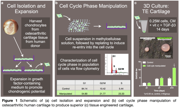 Manipulation of cell cycle phase stimulates chondrogenic
