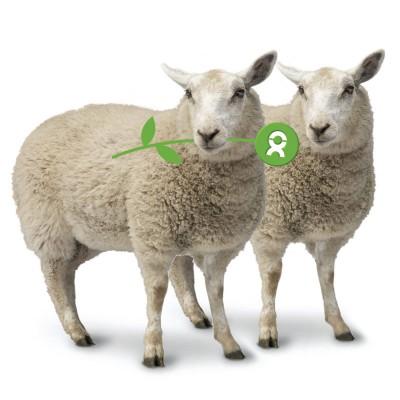 Pair of sheep