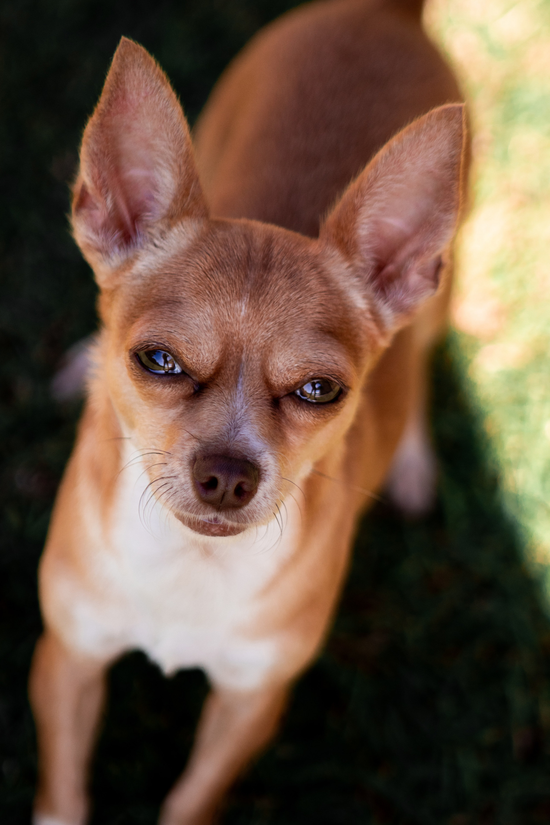 Do You Have To Pay To Rehome A Chihuahua Rehome By Adopt A Pet Com