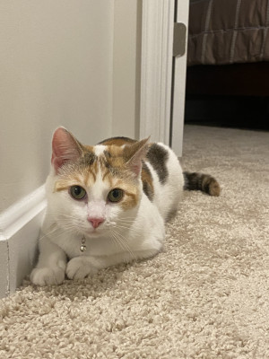 Rehoming Your Cat In Charles Town Wv Rehome By Adopt A Pet Com
