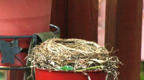 A robin in it's nest.
