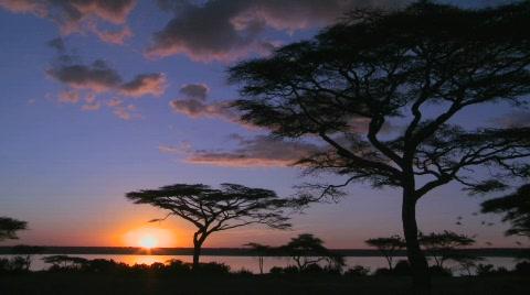 Birds fly at sunset near acacia trees on the savannah of Africa.