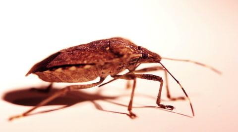 2101 Close-up of a stink bug (pentatomoidea species).