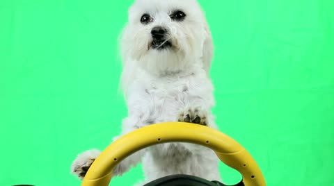 Adorable Maltese dog moves paws on steering wheel, drives?  Green screen. Funny dog concept.