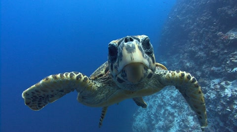 A large male Hawksbill Turtle swims to viewer and looks into camera before swimming away