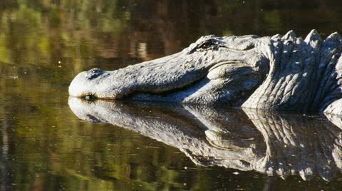 close up of an alligator lying in the sun
