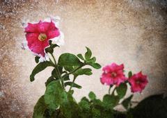 old photo petunia flower