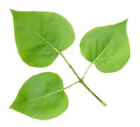 branch with a three green leafs of lilac isolated on white background. close-up. studio photography.