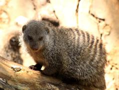 close-up picture of a banded mongoose on a stump