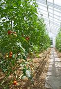 Tomatoes growing in a greenhouse full of sunlight.