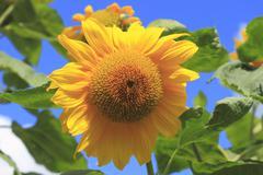 flourishing sunflower (helianthus annuus) in a garden