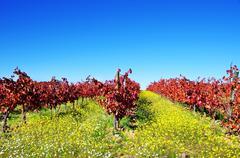 autumn vineyard at portugal, alentejo region