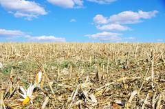 stubble with corn cob on the ground