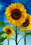 sunflowers on background sky