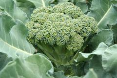 a close up image of broccoli in the field ready for picking
