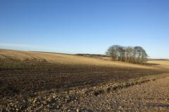 an english winter landscape with a grove of trees set in arable fields under a clear blue sky