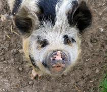 Friendly Pig on farm giving a warm greeting and a need for a handout