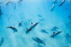 dolphins underwater in hawaii