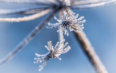 ice crystals, which are located on the dried winter flowers