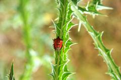 red bug on a thorn