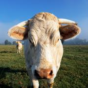 portrait of white cow in the morning light