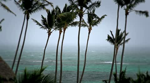 2892 Palm trees blowing in a windy storm.