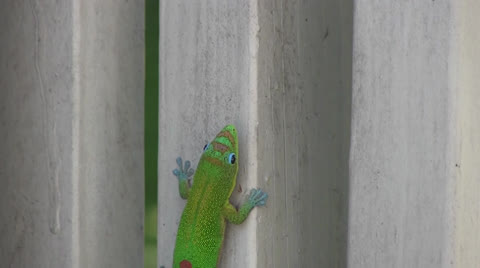 The gecko is one of many introduced species to the Hawaiian Islands. On a recent trip the house we rented had many green geckos inside and out on the lanai. The area was in the Puna district of the Big Island of Hawaii.
