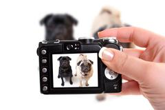 black and fawn colored pugs posing for the camera on a white background focus on black dog's face