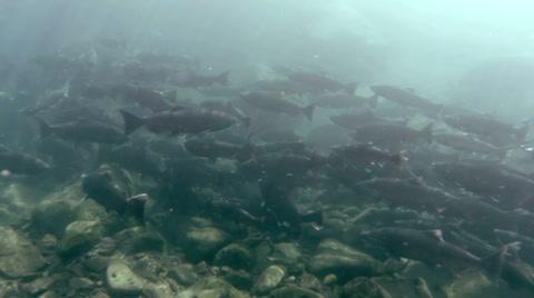 Salmon return to their birthplace to spawn.