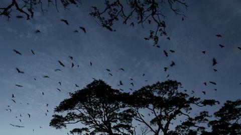 Fruit bat (flying fox) colony mass exodus at dusk with bats filling sky, tracking shot