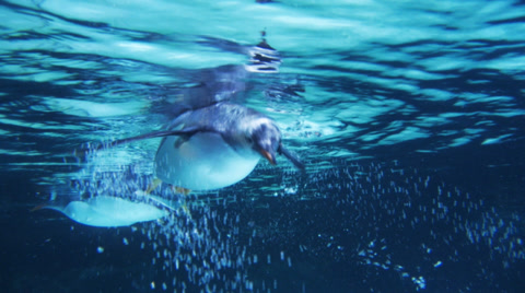 close up of gentoo penguins swimming underwater