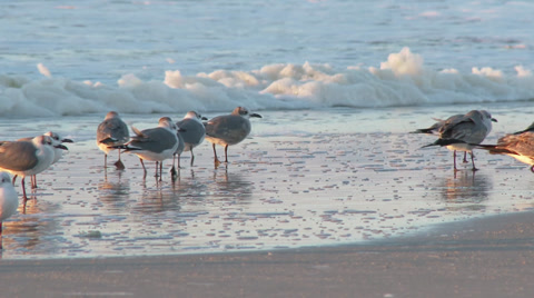 A flock of seagulls gather on the beach in the early morning sun.  In 4K UltraHD.