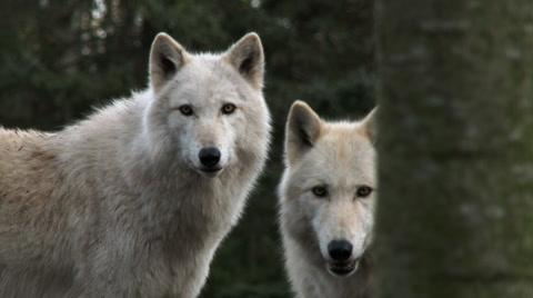 Gray wolves shot in 4K.