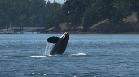 Orcas in the San Juan Islands.