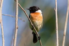 male stonechat sitting on a branch
