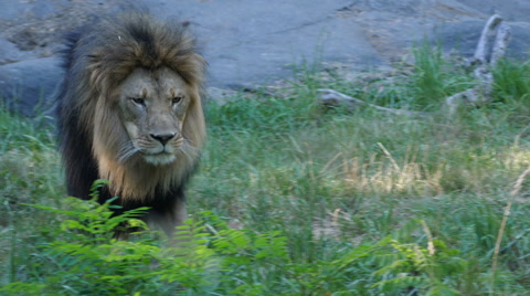 A lion vocalizing. The original rough audio is included.