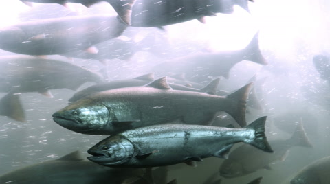 Salmon passing through the fish ladder at Bonneville Dam on the Columbia River.