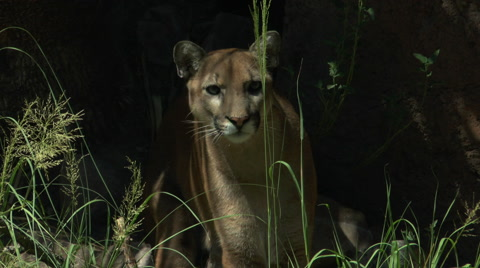 Mountain lion stalks prey, watches from behind blades of tall grass, crouches down, licks lips. 1080p