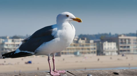 5512 A seagull stands on the pier at Venice Beach.