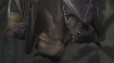 A group of fruit bats hanging upside down at night.