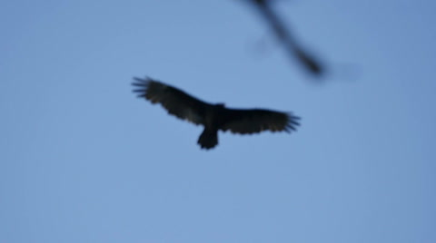 Turkey Vulture Slow Motion 96fps Big Sur California Trees