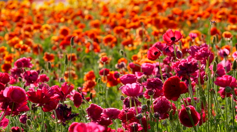 Persian Buttercup Flower Field Closeup in California USA Purple and Orange