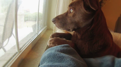 6196 A sad dog looks out the window waiting for her owner to return home.