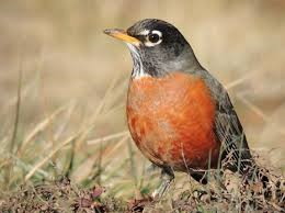 American robin, a bird commonly observed by community scientists.