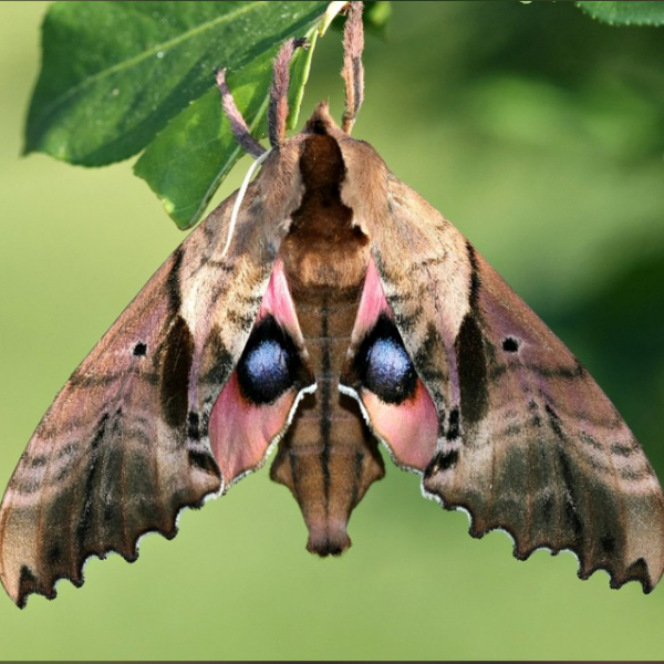 Sphinx moth captured and submitted as part iNaturalist project